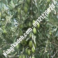 قیمت خرید نهال زیتون در شاهرود  09120460327