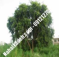 قیمت خرید نهال زیتون در علیآباد کتول | ۰۹۱۲۰۴۶۰۳۲۷