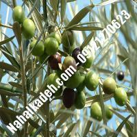 قیمت خرید نهال زیتون در لاهیجان| 09120460327