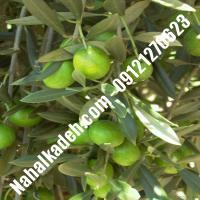 قیمت خرید نهال زیتون در لنگرود  09120460327