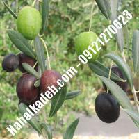 قیمت خرید نهال زیتون در محمدشهر   09120460327