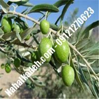 قیمت خرید نهال زیتون در نیشابور   09120460327