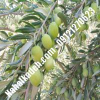 قیمت خرید نهال زیتون در چابهار| 09120460327