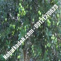 قیمت خرید نهال زیتون در کمالشهر   09120460327