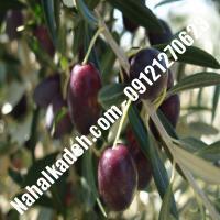 قیمت خرید نهال زیتون در یزد  09120460327