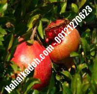 نهال انار صادراتی اصلاح شده | نهالستان خاورمیانه ۰۹۱۲۱۲۷۰۶۲۳ دکتر ماندگار