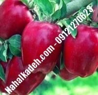 نهال سیب استارکینگ اصلاح شده   نهالستان خاورمیانه ۰۹۱۲۱۲۷۰۶۲۳ دکتر ماندگار