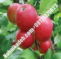 نهال سیب جوناتان اصلاح شده   نهالستان خاورمیانه ۰۹۱۲۱۲۷۰۶۲۳ دکتر ماندگار