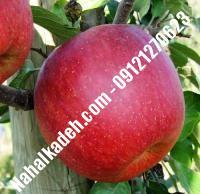 نهال سیب جوناگلد اصلاح شده   نهالستان خاورمیانه ۰۹۱۲۱۲۷۰۶۲۳ دکتر ماندگار
