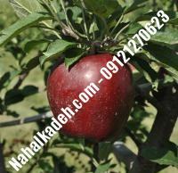 نهال سیب رددلشیز اصلاح شده   نهالستان خاورمیانه ۰۹۱۲۱۲۷۰۶۲۳ دکتر ماندگار