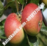 نهال سیب ردمریکال اصلاح شده   نهالستان خاورمیانه ۰۹۱۲۱۲۷۰۶۲۳ دکتر ماندگار
