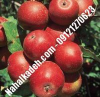 نهال سیب ردچیف اصلاح شده   نهالستان خاورمیانه ۰۹۱۲۱۲۷۰۶۲۳ دکتر ماندگار
