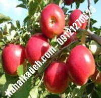 نهال سیب رم بیوتی اصلاح شده   نهالستان خاورمیانه ۰۹۱۲۱۲۷۰۶۲۳ دکتر ماندگار