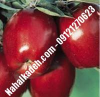 نهال سیب زنور اصلاح شده   نهالستان خاورمیانه ۰۹۱۲۱۲۷۰۶۲۳ دکتر ماندگار