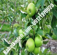 نهال سیب سبز اصلاح شده   نهالستان خاورمیانه ۰۹۱۲۱۲۷۰۶۲۳ دکتر ماندگار