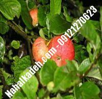 نهال سیب پایه مالینگ | نهالستان خاورمیانه ۰۹۱۲۱۲۷۰۶۲۳ دکتر ماندگار