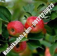 نهال سیب m107| نهالستان خاورمیانه ۰۹۱۲۱۲۷۰۶۲۳ دکتر ماندگار