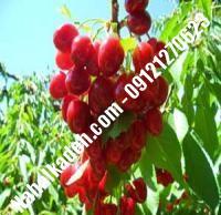 قیمت خرید نهال آلبالو در شیروان | ۰۹۱۲۰۴۶۰۳۲۷