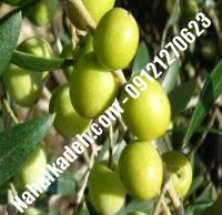 قیمت خرید نهال زیتون در البرز  ۰۹۱۲۰۴۶۰۳۲۷