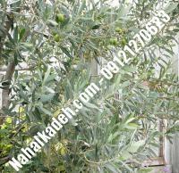 قیمت خرید نهال زیتون در بندر ترکمن| ۰۹۱۲۰۴۶۰۳۲۷